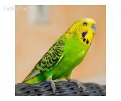 Austrailia Birds Rawalpindi