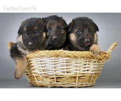 Cute and Loving German Shepherd Puppy Self Feeding for Sell Eid Offer