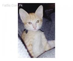 cat kittens grey & brown (free/free)