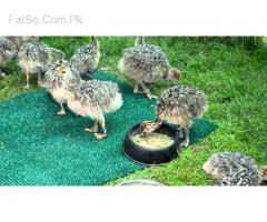 ostrich chicks and fertile ostrich eggs for sale 2 to 3 months old